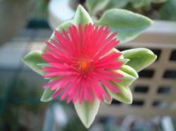 2008_0723_ベビーサンローズの花