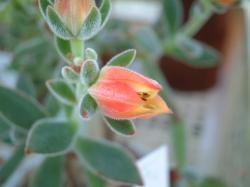 2008_0723_ハムシーの花