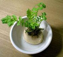 野菜のヘタ、水栽培