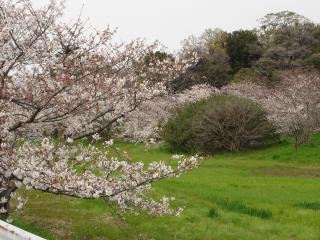 ブログ用写真 花 桜