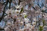 上津の姥桜 花