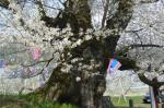 宇木の桜の幹