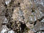 中塩の桜2