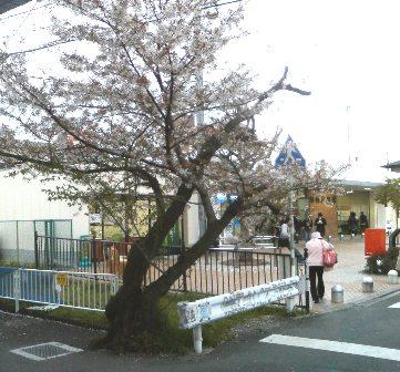 409sakura.jpg