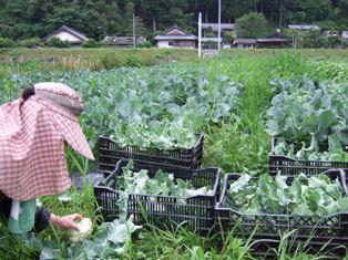 カリフラワー収穫