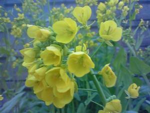 080401菜の花