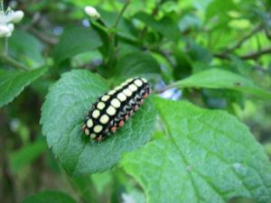 080511シロシタホタルガ幼虫