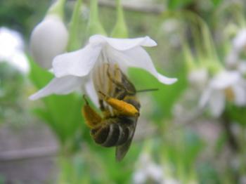 080519花蜂?