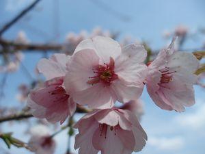 船明ダムの桜も満開近し!