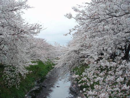 ちゃっと、桜を見に来ました。
