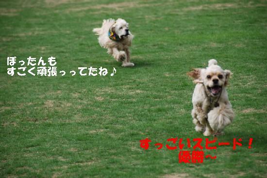 2008_05埼玉コッカー 208