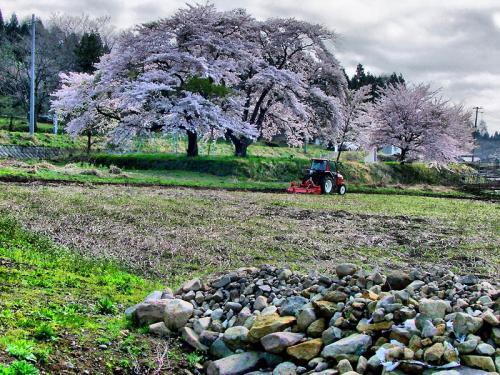 磐梯山麓の大桜