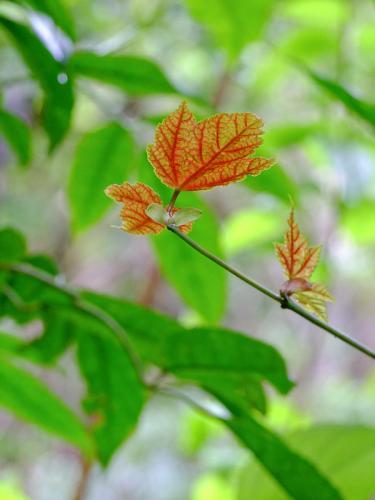 Baby Leaves