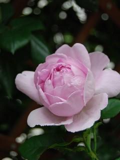 springrose200801.jpg