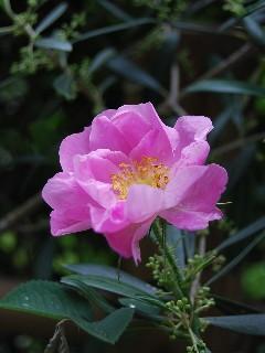 springrose200802.jpg