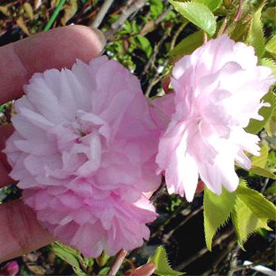 八重桜 紅華