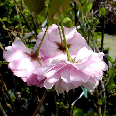 八重桜 紅華2