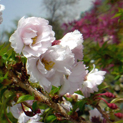 八重桜 八房
