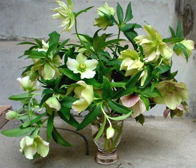 ヘレボラスの切り花