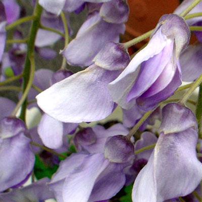 フジ 紫3