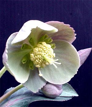 ヘレボラス リビダス 開花