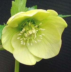 ヘレボラス カップ咲き3