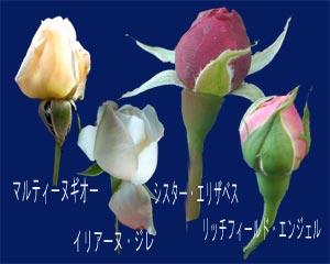 晩秋のバラの蕾