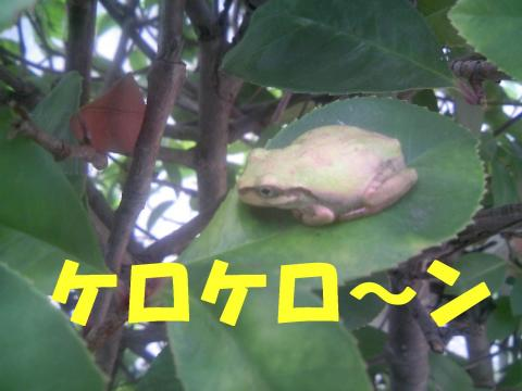 S0808amagaeru_convert_20080811223903.jpg