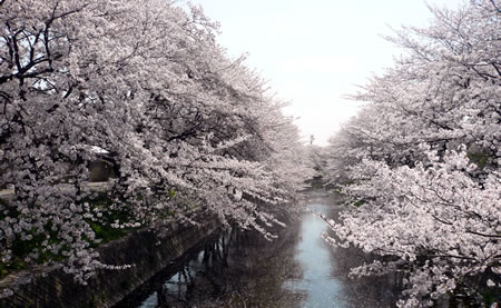 さくら、桜