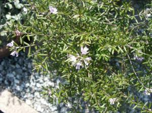 ウエストリンギア花