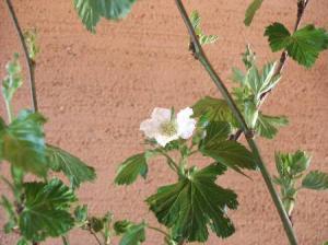 木イチゴ(花)
