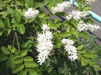 プリペット花