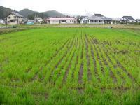 0804-24小麦2.jpg