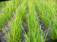 0804-29小麦3.jpg
