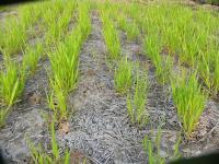 0804-29小麦4.jpg