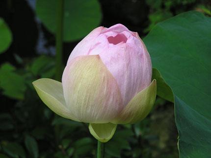 蓮の花('08.7.12)・2