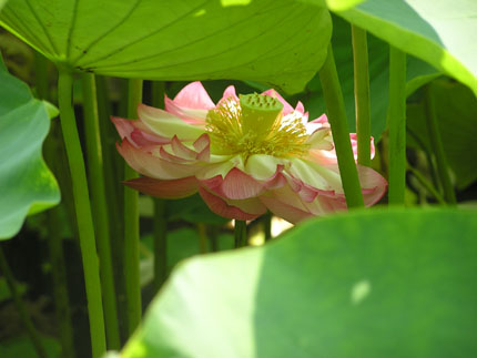 蓮の花('08.7.12・4)・2