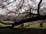 桜の下で絵を描くオヤジ