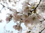 新宿御苑の桜5