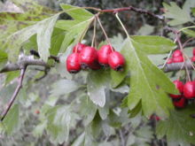 220px-Crataegus_monogyna_fruits.jpg