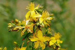 260px-Saint_johns_wart_flowers.jpg