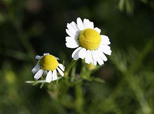 300px-Chamomile_flowers.jpg