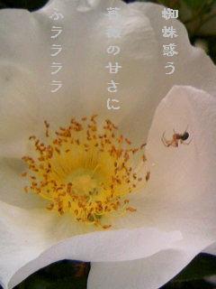薔薇に蜘蛛