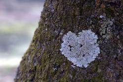桜の木のハートマーク
