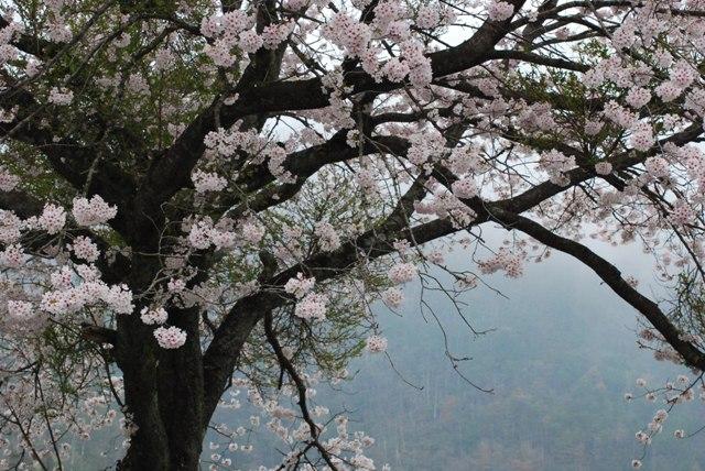 sakura kumori6