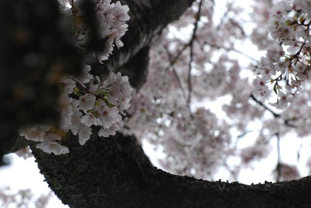 sakura kumori5