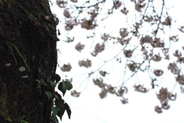 sakura kumori4