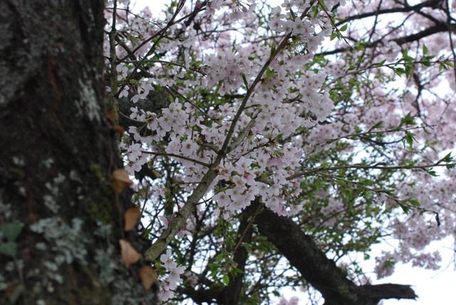 sakura kumori3