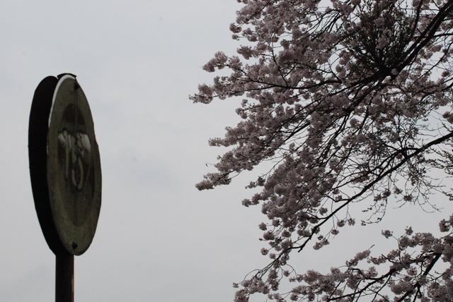 sakura kumori2