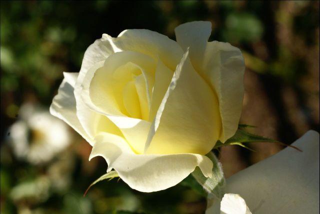 07-10-28白薔薇0000